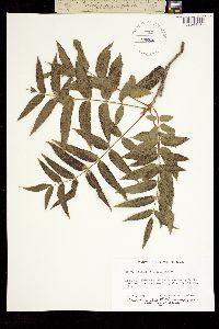 Juglans microcarpa var. microcarpa image