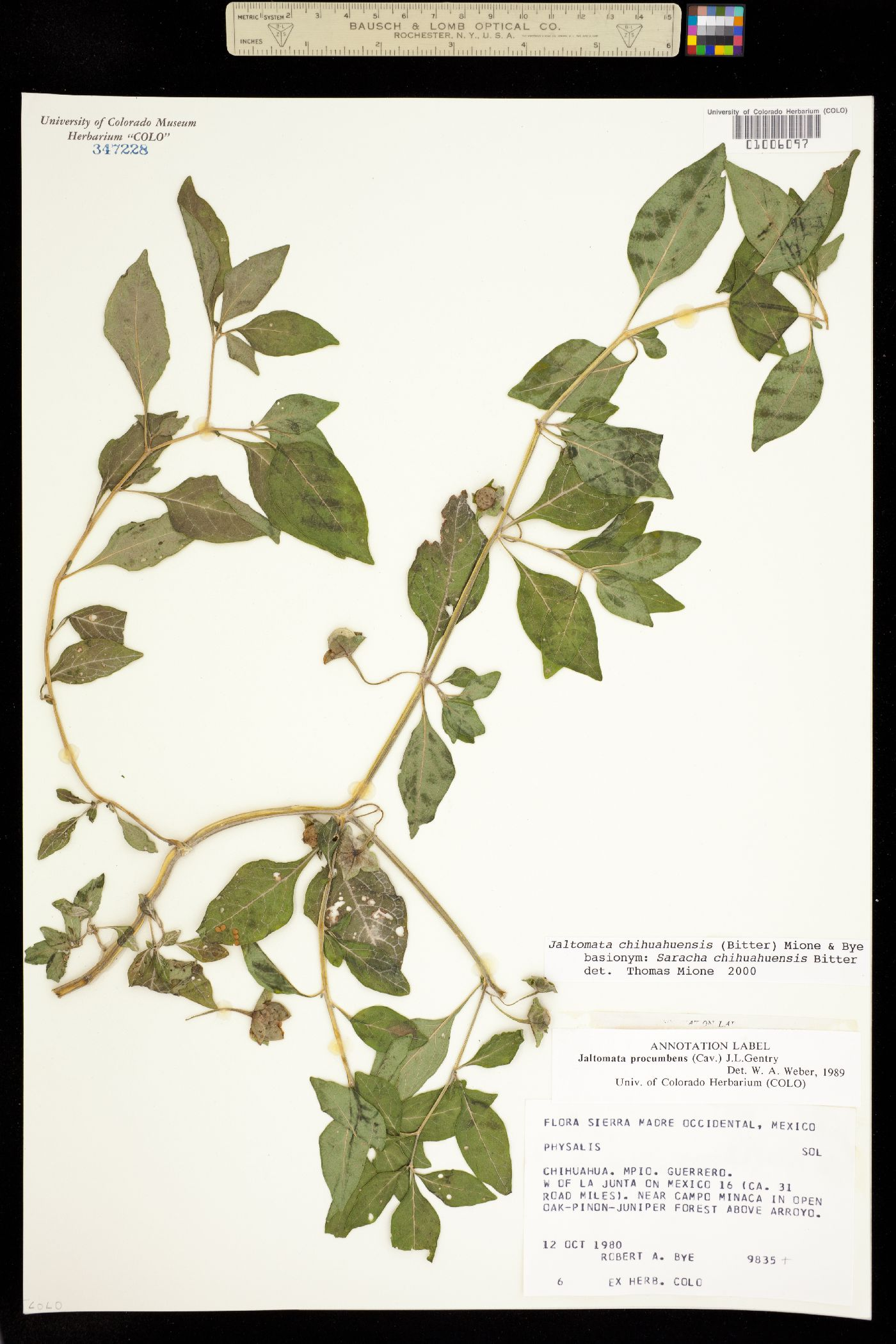 Jaltomata chihuahuensis image