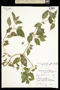 Image of Jaltomata chihuahuensis
