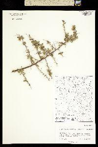 Lycium puberulum image