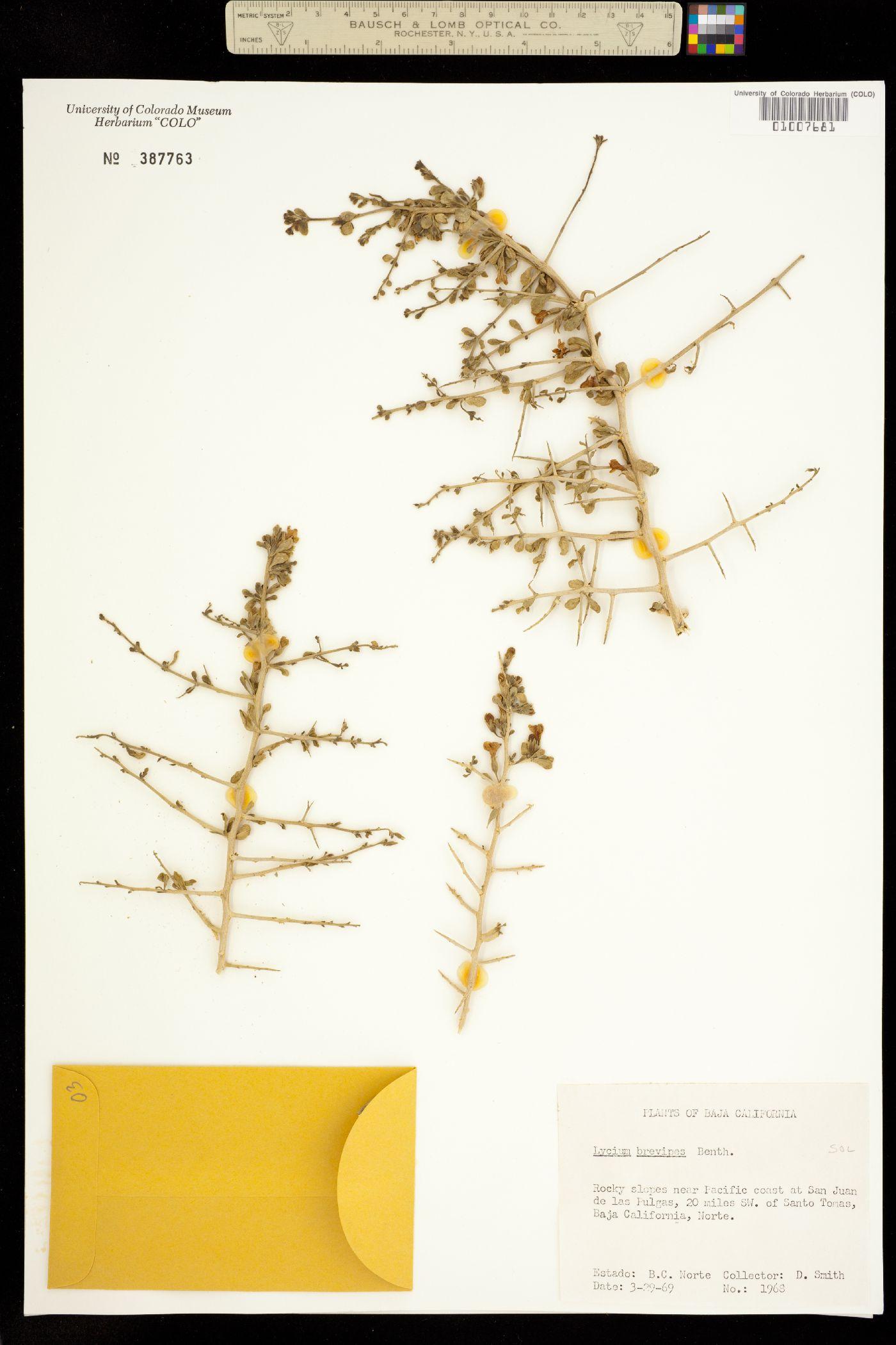 Lycium brevipes image