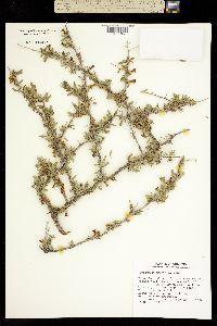 Lycium macrodon image