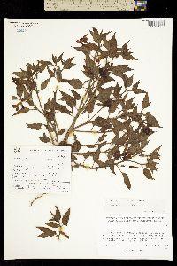 Image of Nectouxia formosa