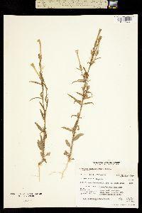 Nicotiana quadrivalvis image