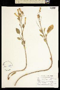 Nicotiana glauca image
