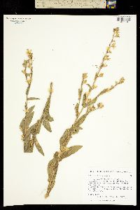 Image of Nicotiana rustica