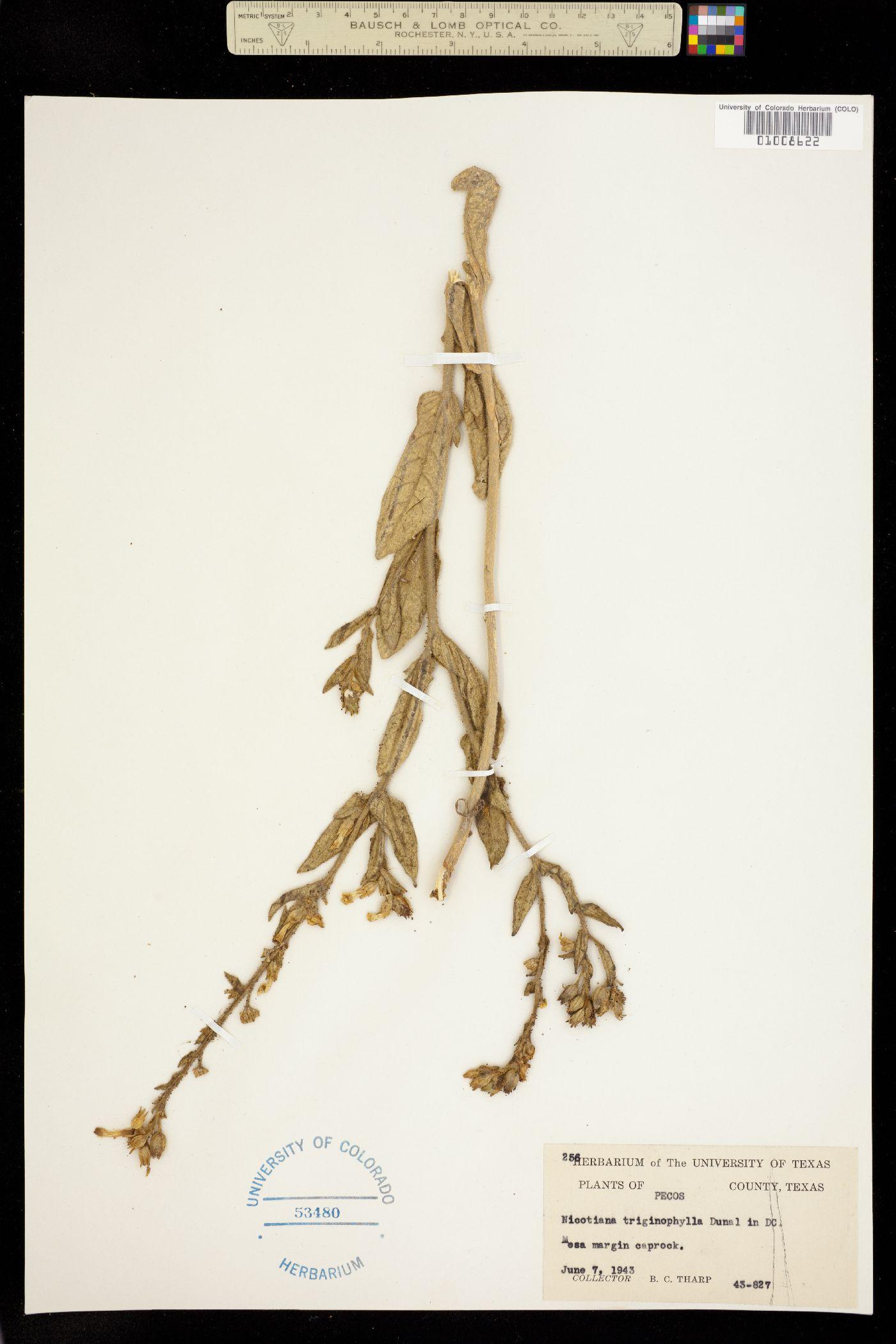 Nicotiana trigonophylla image