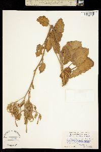 Nicotiana nesophila image
