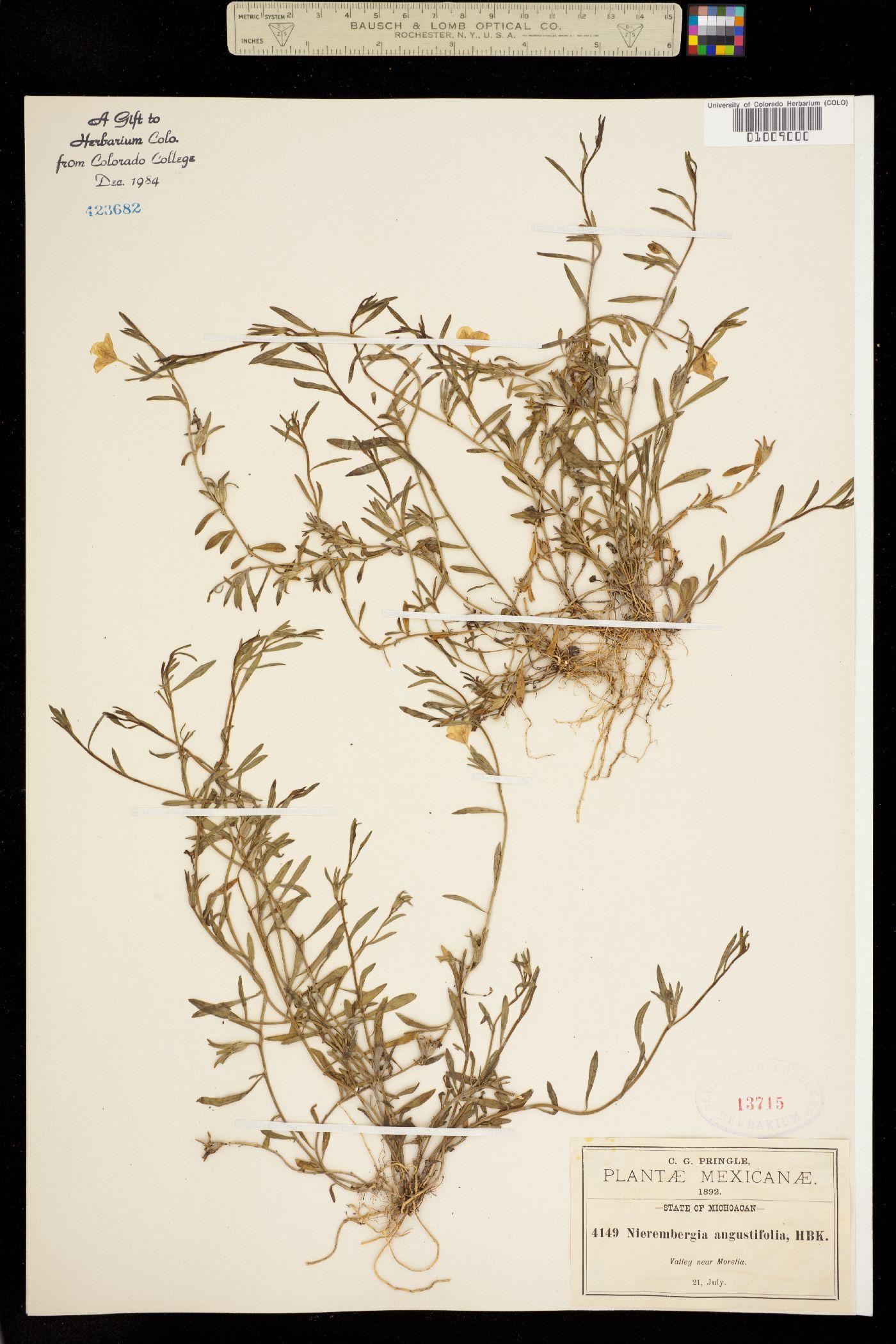 Nierembergia angustifolia image
