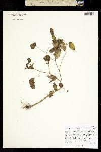 Physalis foetens image