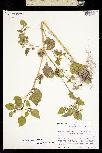 Physalis philadelphica image