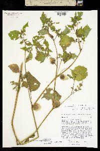 Image of Physalis philadelphica