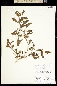 Image of Physalis cinerascens