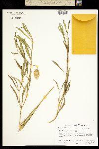 Image of Physalis angustifolia