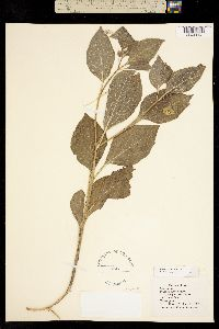 Image of Physalis pumila