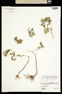 Physalis leptophylla image