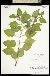 Image of Solanum americanum