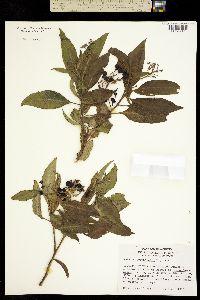 Solanum cervantesii image