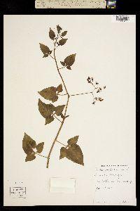 Image of Solanum dulcamara