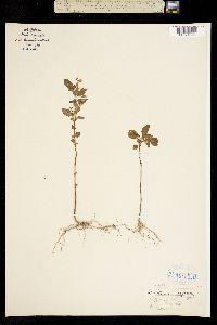 Image of Solanum nigrum