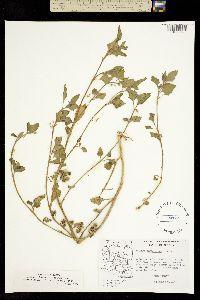 Solanum physalifolium image