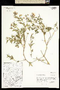 Solanum triquetrum image