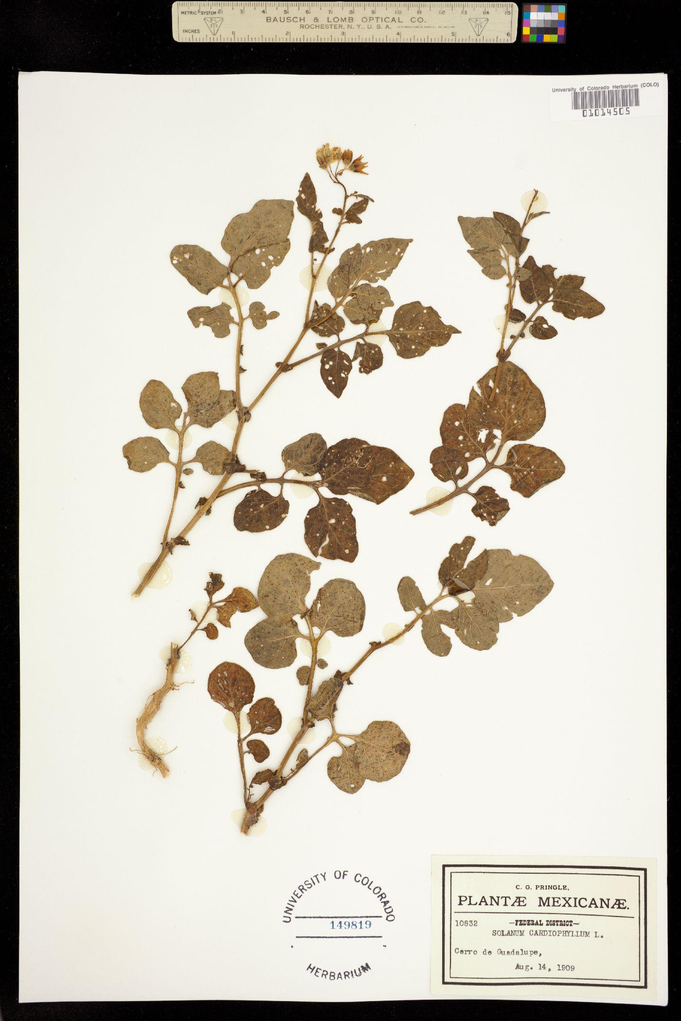 Solanum cardiophyllum image