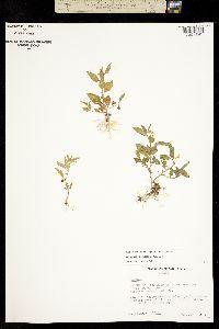 Solanum adscendens image