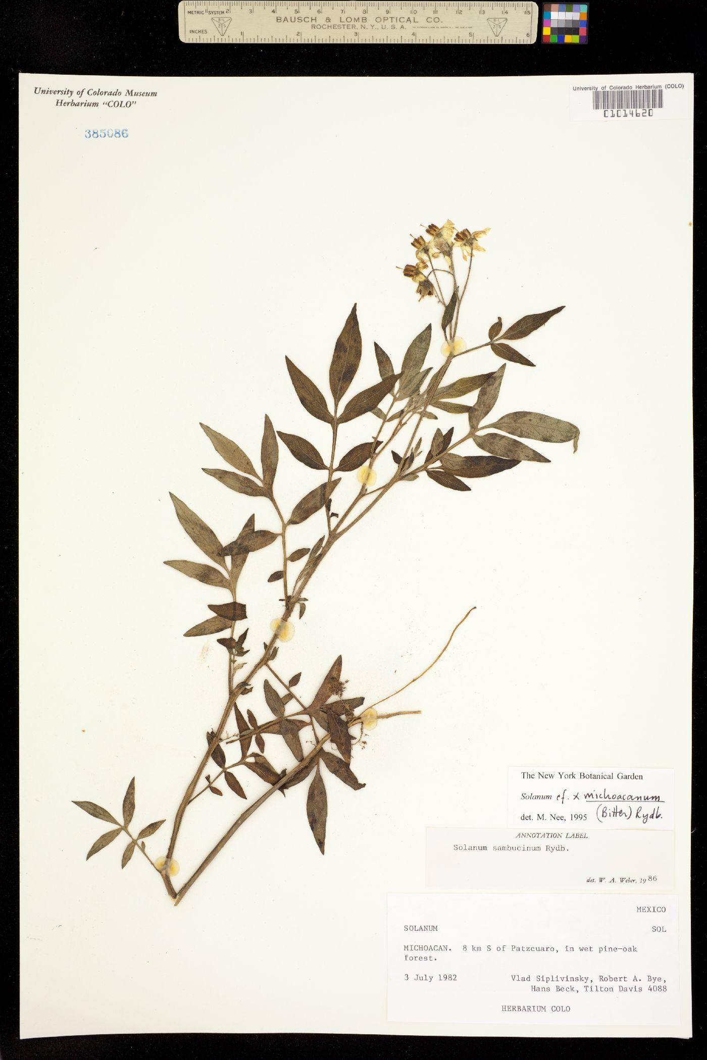 Solanum x michoacanum image