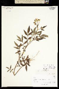 Image of Solanum x michoacanum