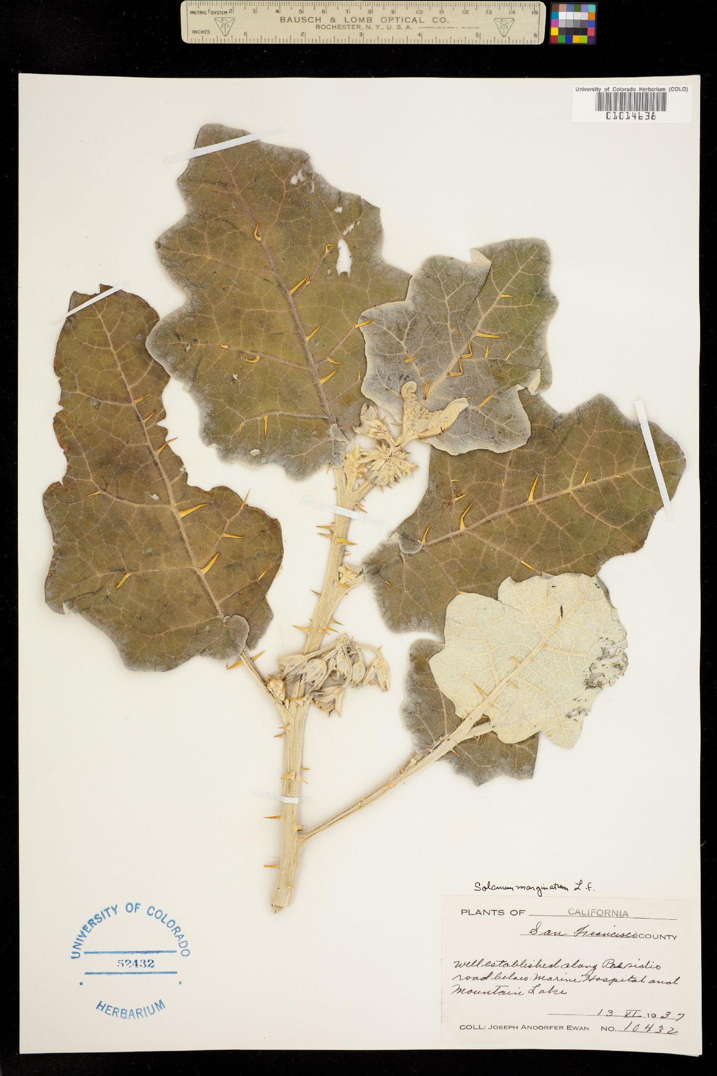 Solanum marginatum image