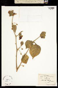 Solanum pringlei image