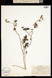 Solanum palmeri image