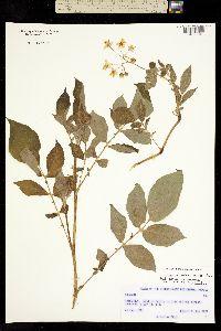 Image of Solanum verrucosum