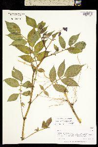 Solanum verrucosum image