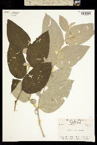 Image of Solanum salviifolium