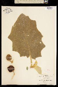 Solanum tequilense image