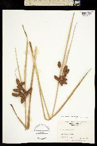Bolboschoenus maritimus subsp. maritimus image