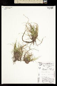 Carex ablata image