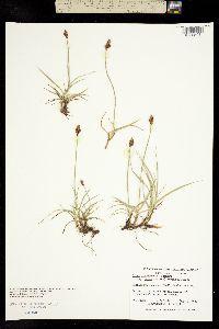 Image of Carex arenicola
