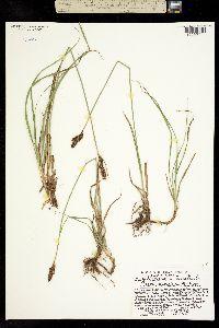 Carex aboriginum image