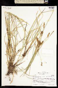 Carex cusickii image
