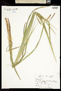 Carex folliculata image