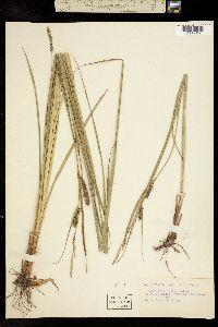 Carex impressa image