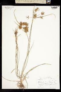 Cyperus odoratus image