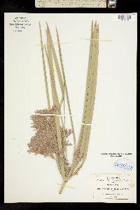 Cyperus digitatus image