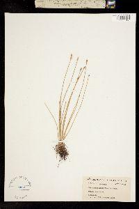 Eleocharis acuminata image
