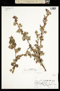 Image of Ribes ceriferum