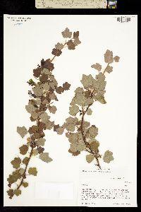 Ribes ceriferum image