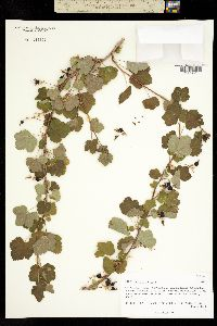 Image of Ribes dugesii